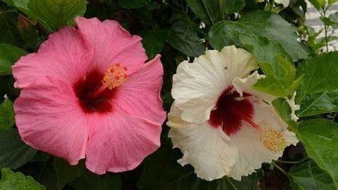 fiore simbolo della famiglia ibisco il fiore della bellezza