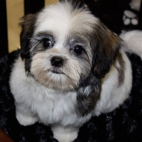 malshi puppies for sale in florida malshi puppies mal shi puppy for sale in boca raton south florida puppies