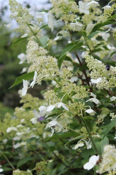 late flowering shrubs uk panicle hydrangea kyushu flowering shrubs late