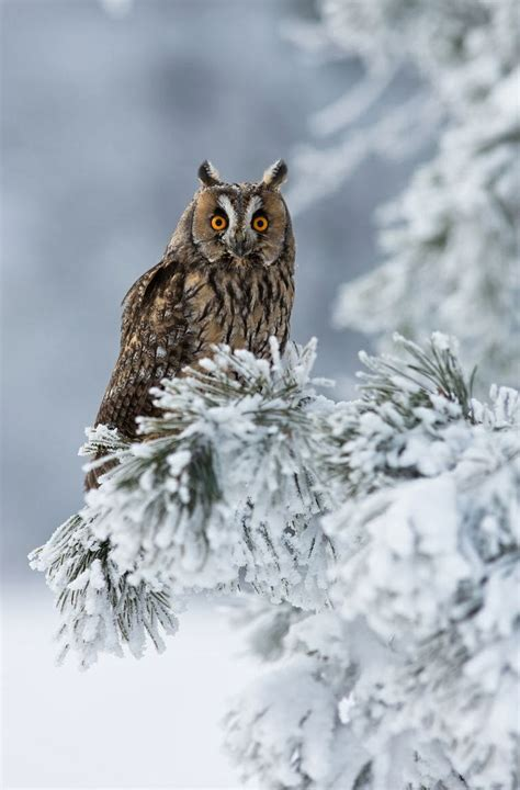winter owl desktop wallpaper wallpapersafari