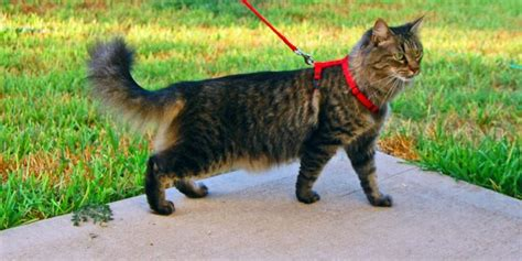 how to your to walk with a leash how to your cat to walk on a leash zoomzee org