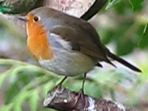 robin chirp chirp birds in my garden by simon