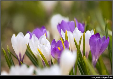 fiori baldo forum nikonclub it gt flore monte baldo