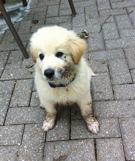 golden pyrenees puppies golden pyrenees golden retriever great pyrenees mix temperament pictures