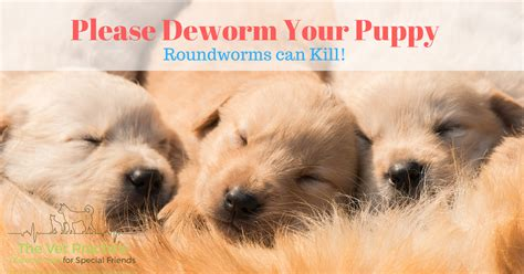 how often should puppies be dewormed how to avoid this senseless in puppies the vet practice