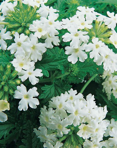 verbena shrub with white flowers lanai 174 blush white verbena proven winners