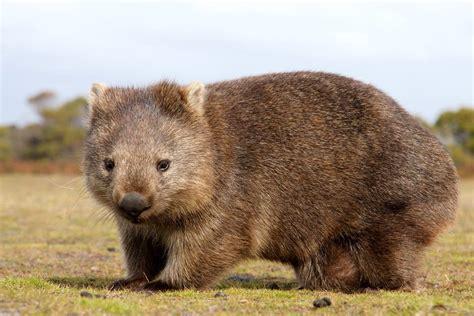 imagenes de animal wombat wombat rund um den kompakten beutels 228 uger