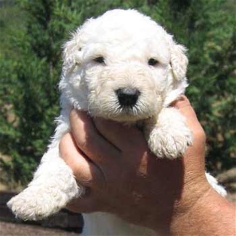 komondor puppy komondor puppy for sale show pet or lgd puppies for sale in oregon or west coast