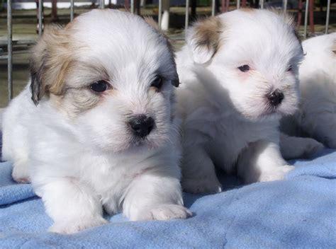 hypoallergenic puppies hypoallergenic puppies food breeds puppies