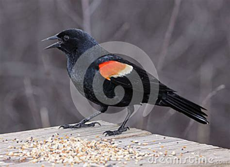 red winged blackbird eating royalty free stock photography