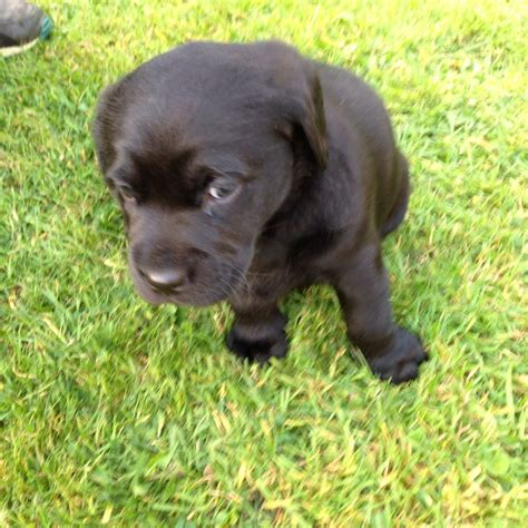 lab puppies for sale in central illinois lab puppy for sale breeds picture