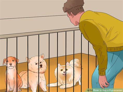 buying a pomeranian how to buy a pomeranian 11 steps with pictures wikihow