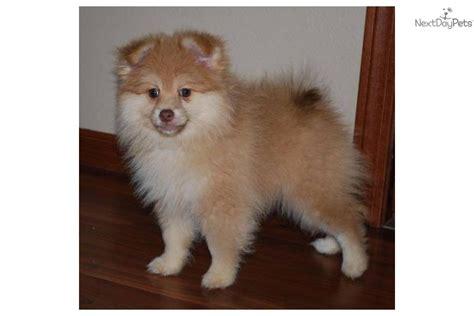 pomeranian puppies price range pomeranian puppy for sale near sioux falls se sd south dakota 00d52a8d ffe1