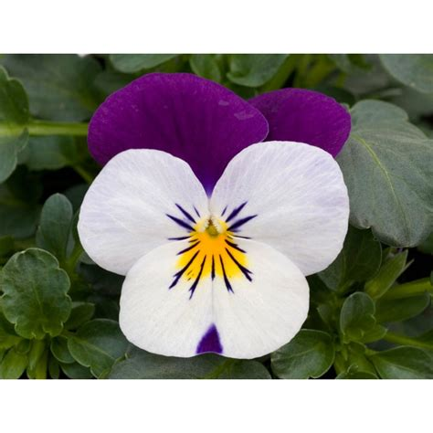 pianta con fiore viola pianta di viola a fiore piccolo sorbet xp white jump up