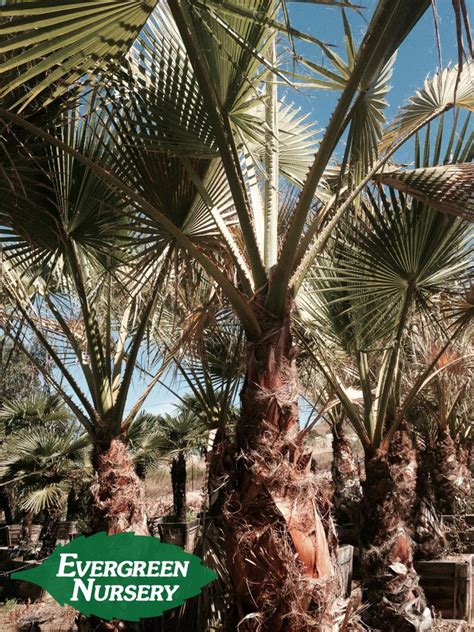 fan palm growth rate washingtonia filifera evergreen nursery