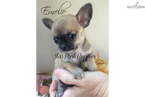 apple chihuahua puppies for sale near me chihuahua puppy for sale near arizona f00e648d f6b1