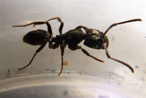 black ants termite identification termite web