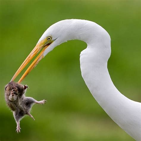 simply a mouse being eaten by a white heron animals