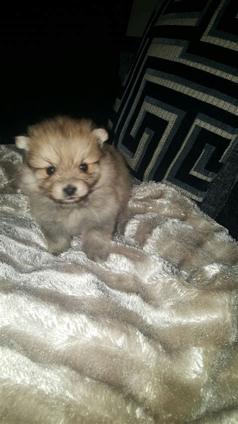 pomeranian puppies for sale liverpool teacup pomeranians liverpool merseyside pets4homes