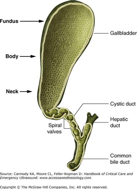 gallbladder anatomy diagram gallbladder free engine - Fundus Of Gallbladder