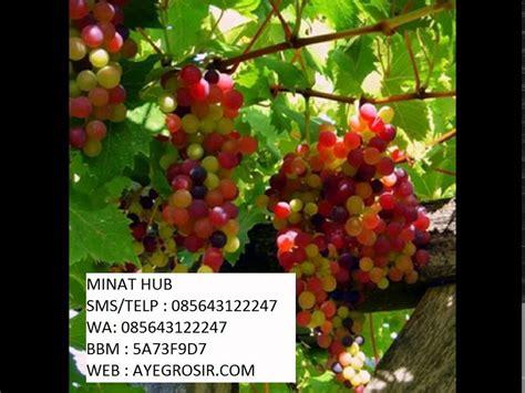 Bibit Anggur Pelangi jual pohon anggur pelangi 085643122247 5a73f9d7