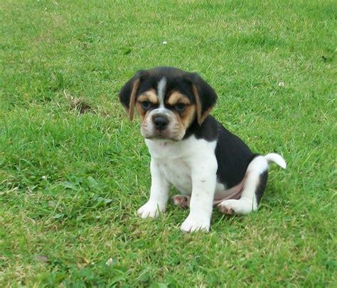 pug beagle puppies pug x beagle puppies stafford staffordshire pets4homes