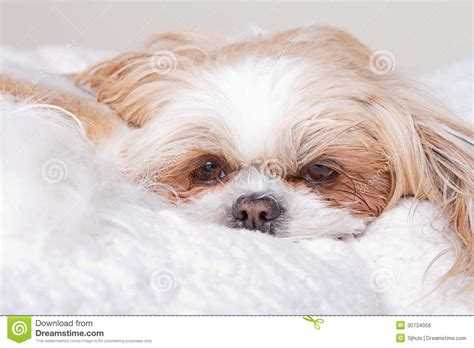 how to a shih tzu to lay sad laying royalty free stock image image 30734056