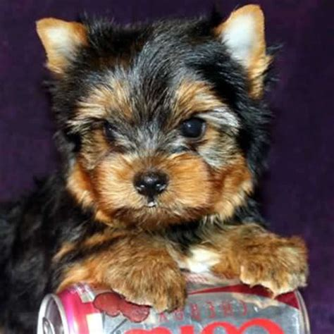 yorkie dogs for sale cheap teacup yorkie boy puppy memes