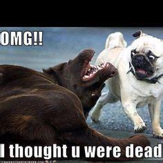 dead pug 1000 images about pugs on pug pugs and a pug