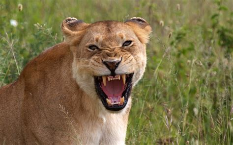 difference between lion and lioness the lions of the serengeti africa geographic