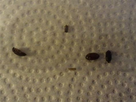 tiny black beetles in bedroom tiny black bugs in bedroom bedroom at real estate