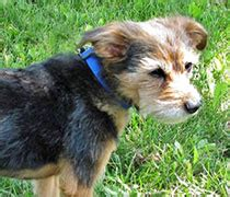 rocky mountain yorkie rescue adopted yorkies rmyr rocky mountain yorkie rescue