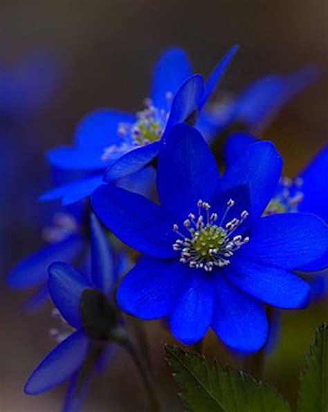 beautiful blue color best 25 blue flowers ideas on
