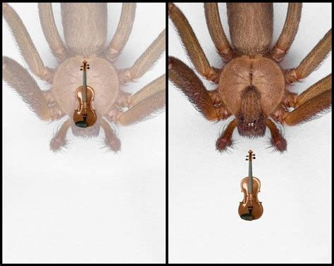 violin pattern on brown recluse brown recluse violin or fiddle shape venomous spiders of