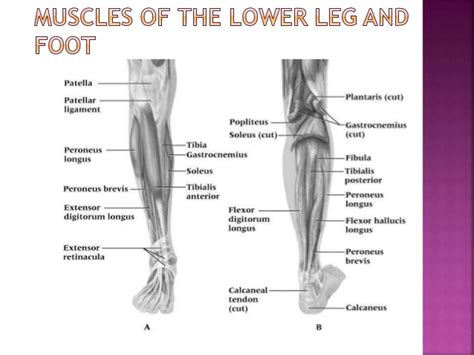 leg injuries image gallery leg ligaments