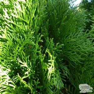 Buy thuja occidentalis smaragd online from jacksons nurseries