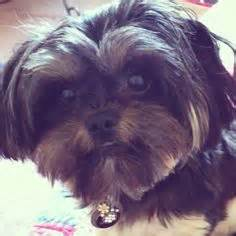 yorkie shu shorkie yorkie shitzu mix puppies yorkie ewok and adoption