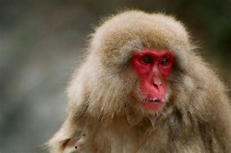 Japanese Macaque   www.pixshark.com - Images Galleries ...