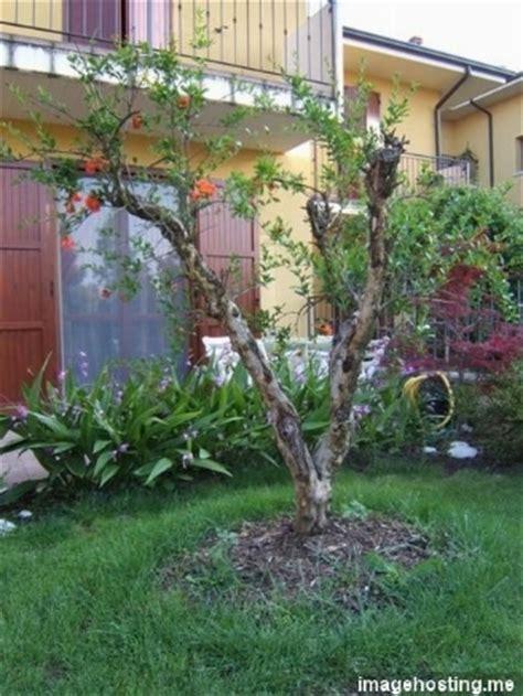 melograno pianta da giardino problema con melograno domande e risposte giardinaggio