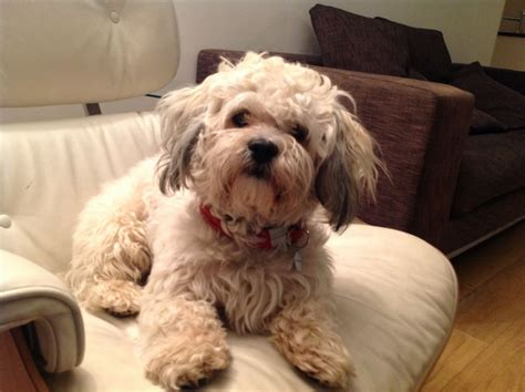 shih tzu cross bichon frise temperaments teddy shichon breeds picture