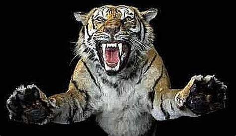 sognare una tigre in casa cosa significa sognare belve feroci il miglior web