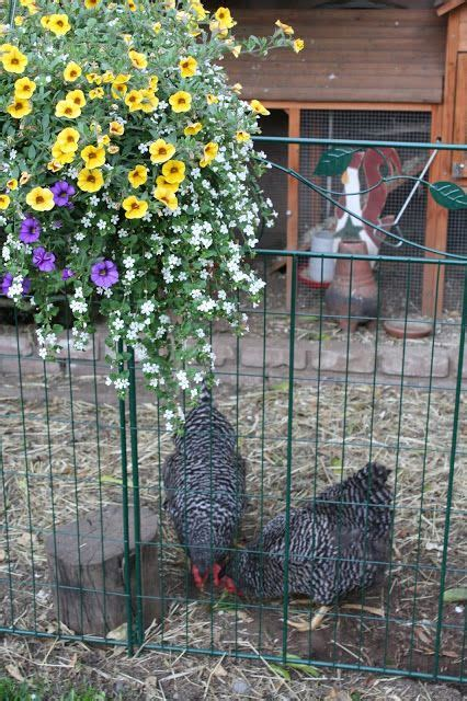 can you have chickens in your backyard 66 best images about chickens are family chicken coops on