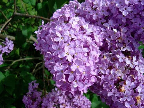 file lilac flowers1 jpg wikimedia commons