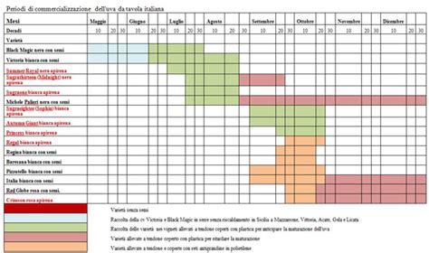 piantare uva da tavola uva da tavola il calendario produttivo e commerciale in