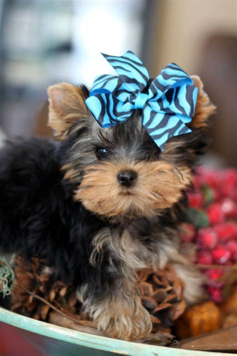 yorkie for sale tx 73 best cutest tiny puppies for sale images on puppies small