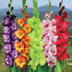 gladiolus flowers gladiolus the august flower city blossoms