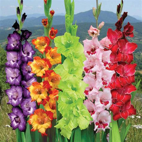 Benih Bunga Bachelors Button Mix Flower Cornflower Mix Col gladiolus the august flower city blossoms