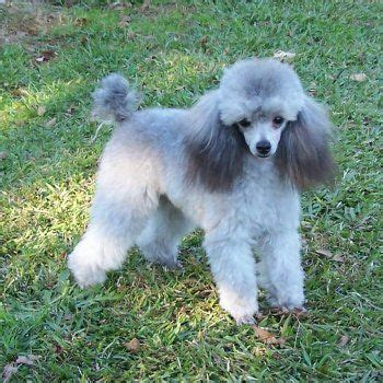 silver poodle puppy 25 best ideas about poodle puppies on poodles maltipoo and