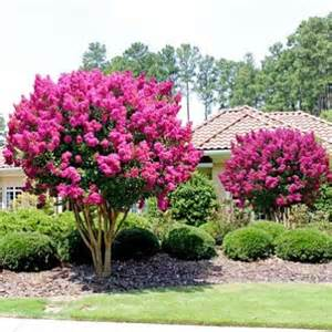 17 best ideas about lagerstroemia on pinterest crepe