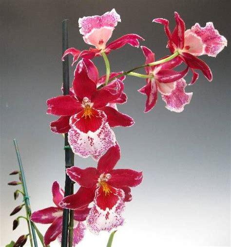 quanto bagnare le orchidee prezzi di scarpe donna quanto innaffiare orchidea